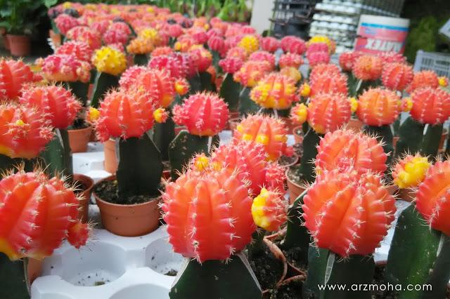pokok kaktus di cameron highlands,