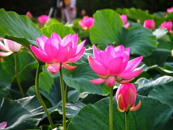 Hình ảnh hoa sen đẹp nhất