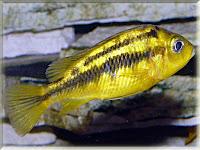 Yellow Kribensis Fish Pictures
