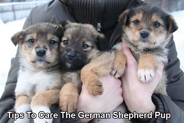 Tips To Care The German Shepherd Pup