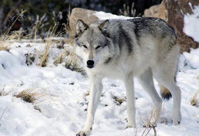 الكلب الذئب Wolf Hybrid