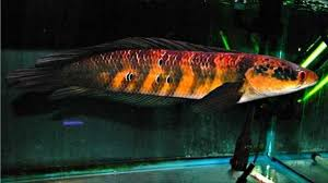 Chana Maruliodes adalah salah satu jenis ikan snakehead termahal di Indonesia - Griya Arka Kendal