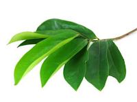 Mengenal Daun-daun Dengan Manfaat Istimewa
