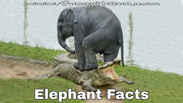 Elephant Facts In Hindi-Elephants Information