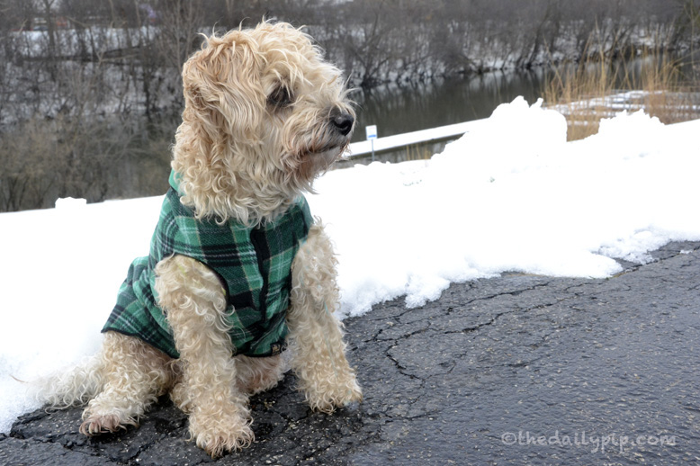 Ruby, the rescued yorkie-poo takes a walk by the snow Chicago River