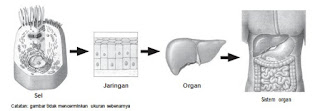Keterkaitan Sel-Jaringan-Organ-Sistem Organ