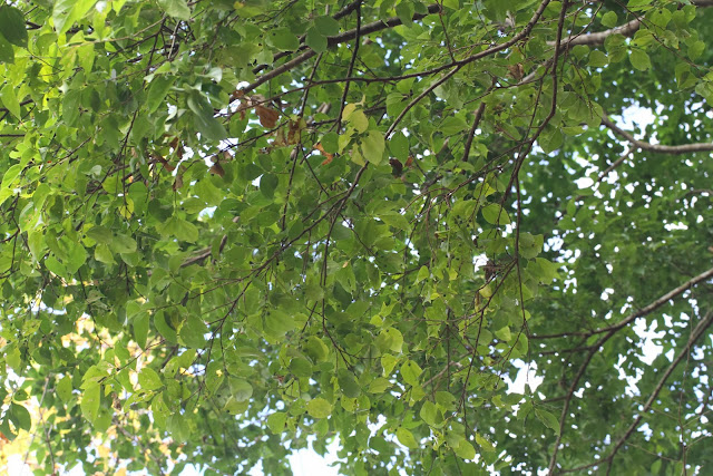 蝴蝶食草: 臺灣樸樹