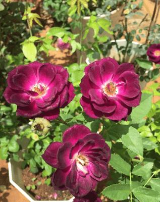 Hoa hồng 7