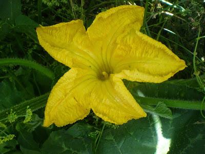 Distinguir las flores de la Calabaza