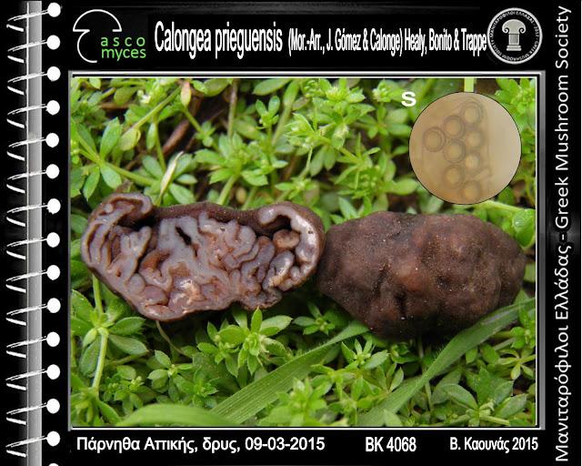 Calongea prieguensis (Mor.-Arr., J. Gómez & Calonge) Healy, Bonito & Trappe.