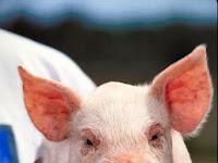 Saya jujur saja masih bingung mengenai kuas yang terbuat dari bulu babi