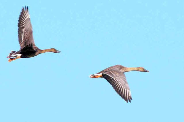 Male and female geese in flight