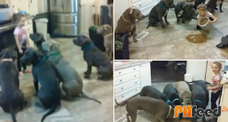4-year-old feeds a pack of Pitbulls!