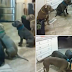 VIRAL: Little girl feeds 6 male Pitbulls at the same time!!!