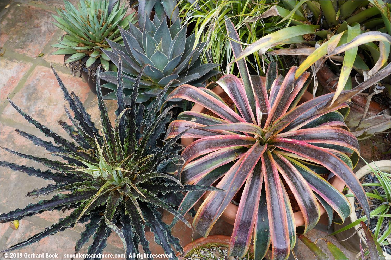 Succulents and More: 2019 Bromeliad Summit in Santa Barbara