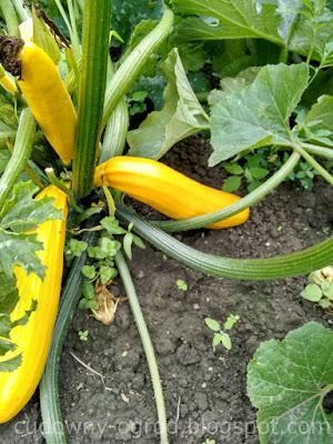 Cukinia w ogrodzie warzywnym