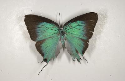 Mariposa marsias Pseudolycaena marcyas