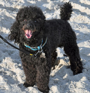 Icon Wallpaper Iphone 5 Black Maltese Poodle Online News Icon