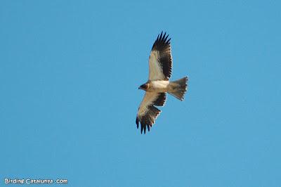 Àguila calçada (Hieraaetus pennatus)