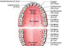 Teeth Names Diagram