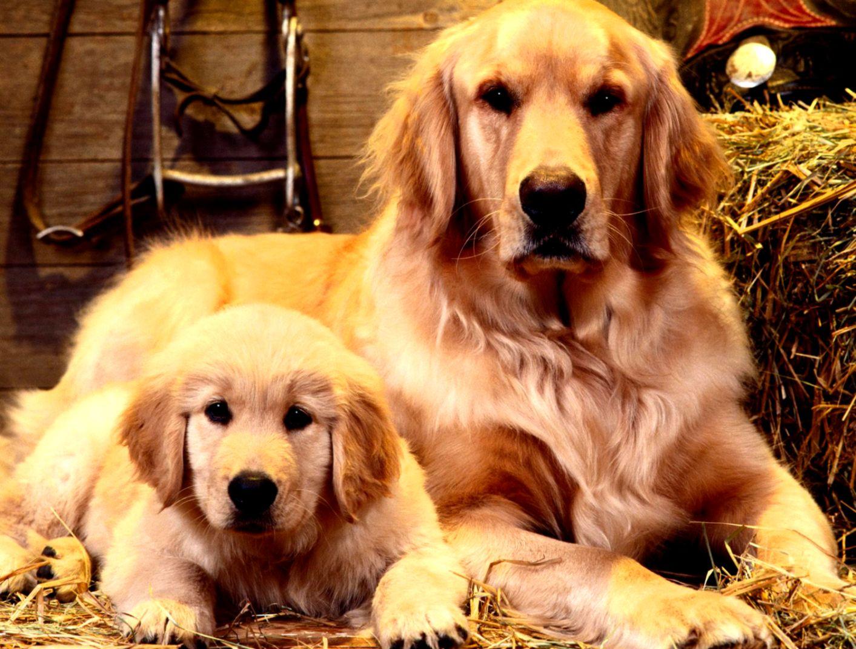 Golden Retriever Pupy Desktop Wallpapers For Background Free Dog