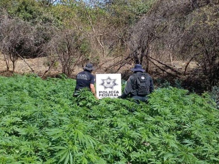 Hallan más de 2 millones de plantas de marihuana en Jalisco