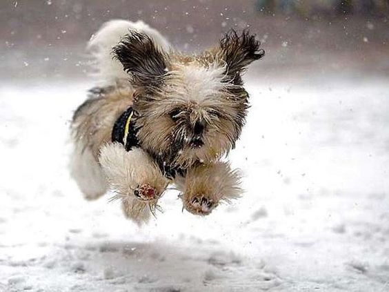 Beautiful winter scene with fluffy shih tzu running in snow