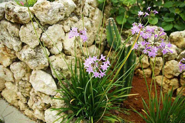 Tulbaghia violacea, Society Garlic plant and flowers