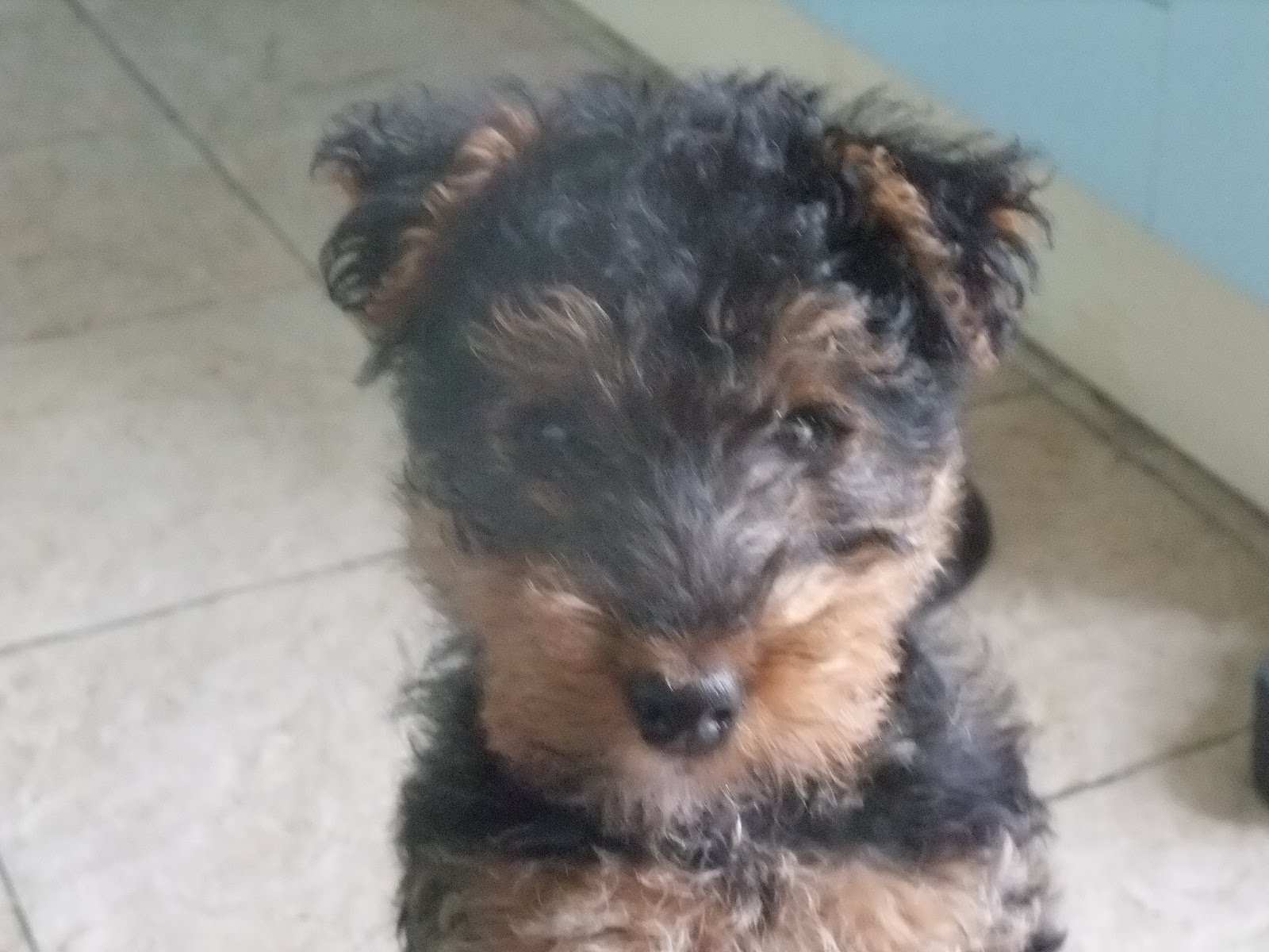 welsh terrier poodle mix pin poodle mix terrier on pinterest 1095
