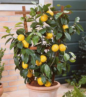 El blog de la elena un blog dulce divertido y - Plantar limonero en maceta ...