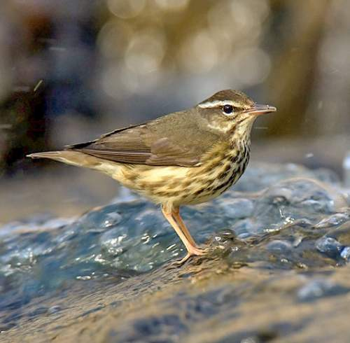 Bird World - Image of Louisiana waterthrush - Parkesia motacilla