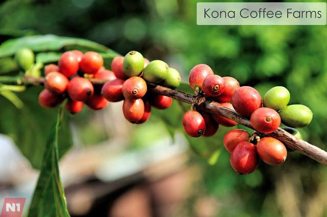 Kona Coffee Farms   Cheap Vacation Ideas: Best Hawaii Spots to Go
