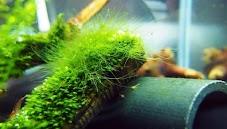 Cara Menghilangkan Green Hair Alga di Aquascape (Alga Rambut)