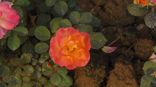 Rose Flower in National Rose Garden Delhi 2075