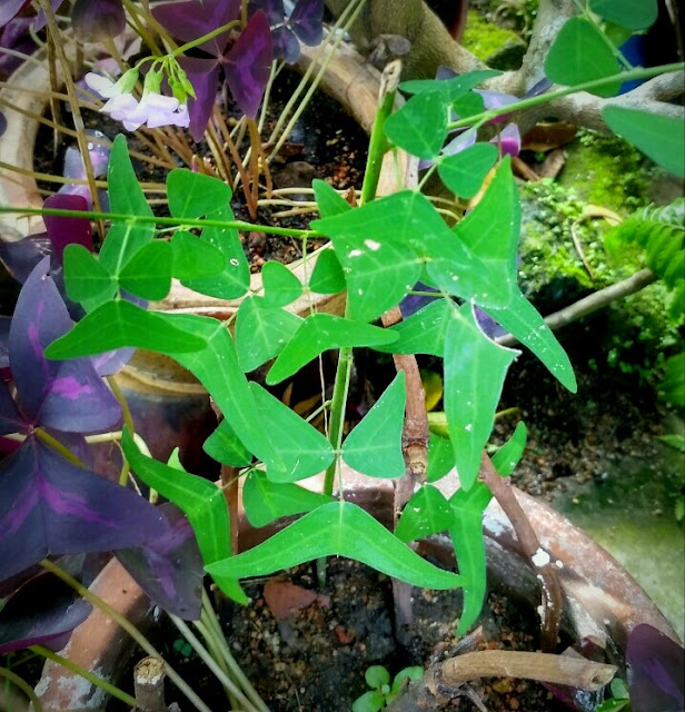 biji benih pokok rerama hijau