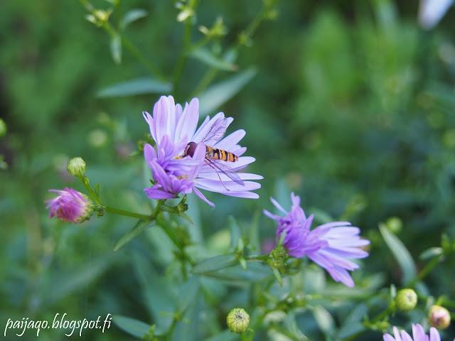 syysasteri kukkakärpänen