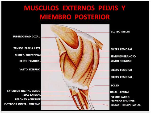 Músculos del miembro posterior | MIOLOGIA EQUINA