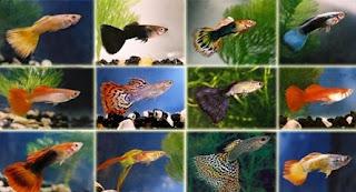 Cara Mencerahkan Warna Ikan Guppy