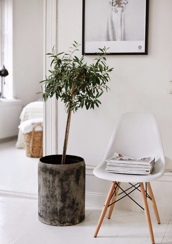 Express o home trend indoor olive tree for Growing olive tree indoors