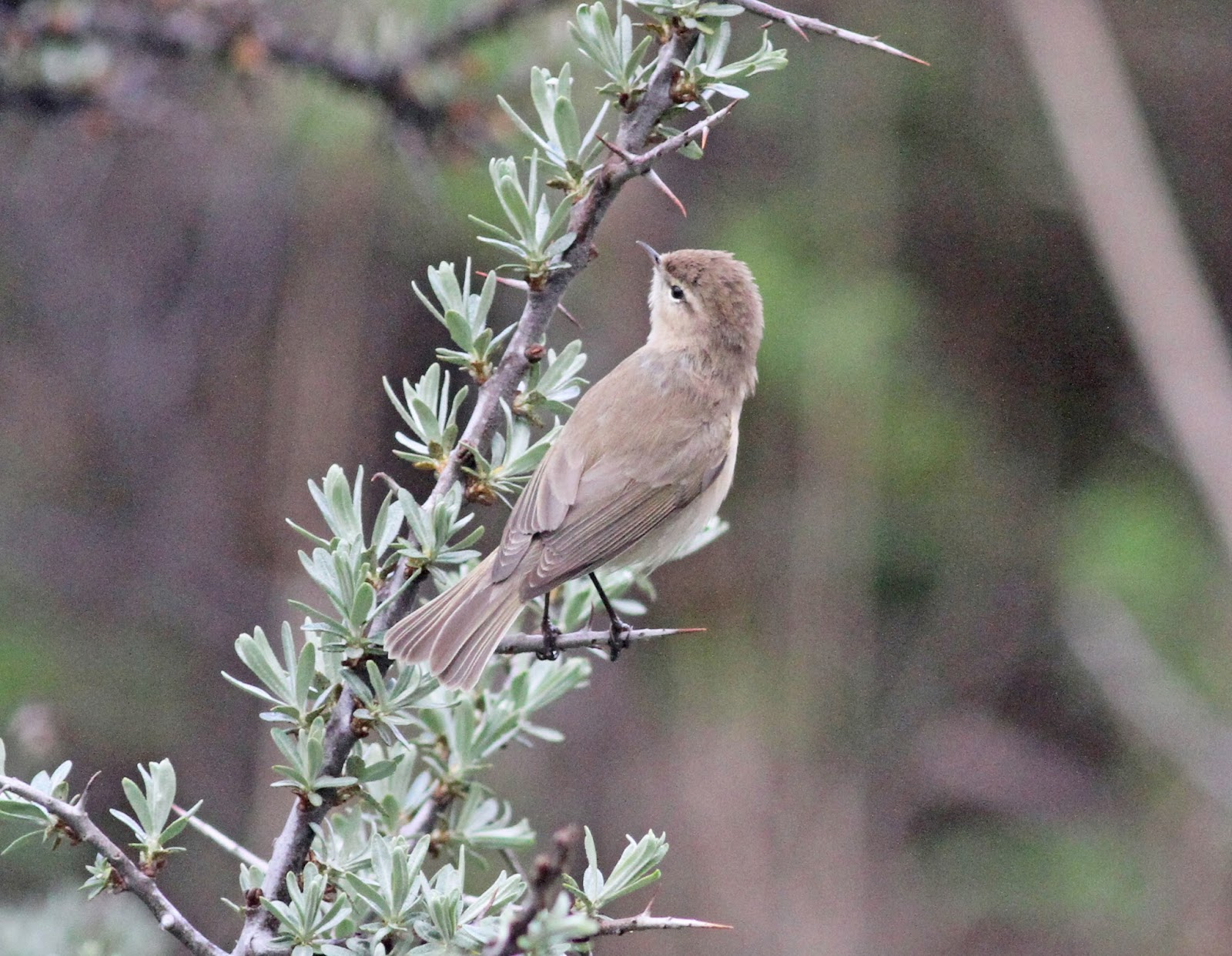 Simon and Karen Spavin: And a few more Georgia birds Mountain Chiffchaff
