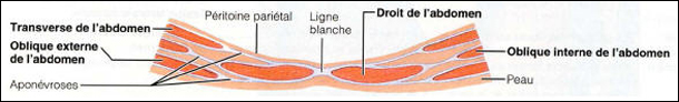 Coupe transversale abdominale