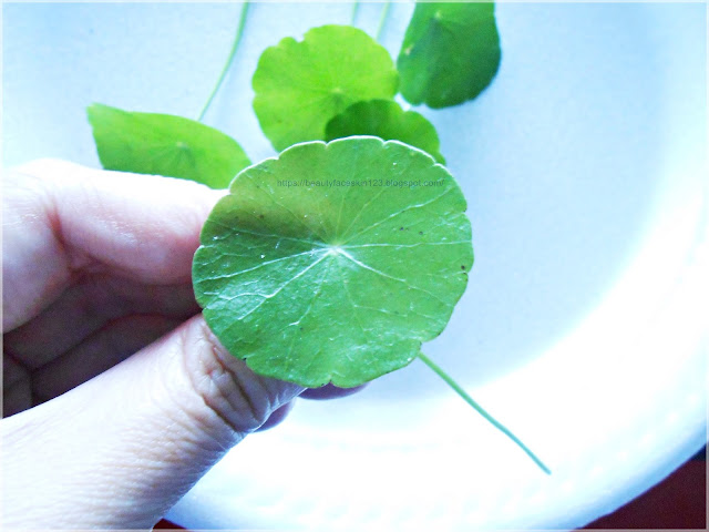 Centella asiatica, gotu kola, tiger grass, pennywort -7 Favourite Ingredients For Acne Prone Skin