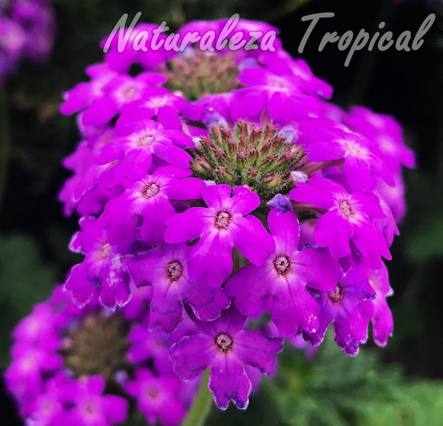 Flores de la variedad `Natali Rosa INTA´del género Glandularia