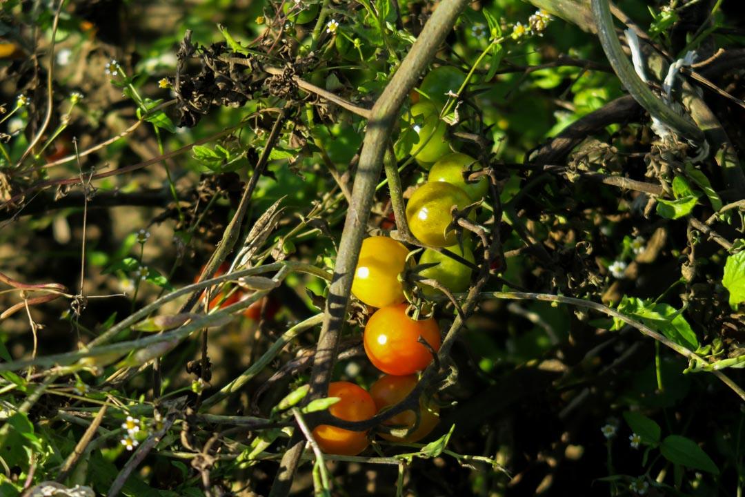 Ackermomente, Kürbis-Tomaten-Suppe, Kürbis, Tomaten, Suppe, Herbst, eigene Ernte, Fleurcoquet