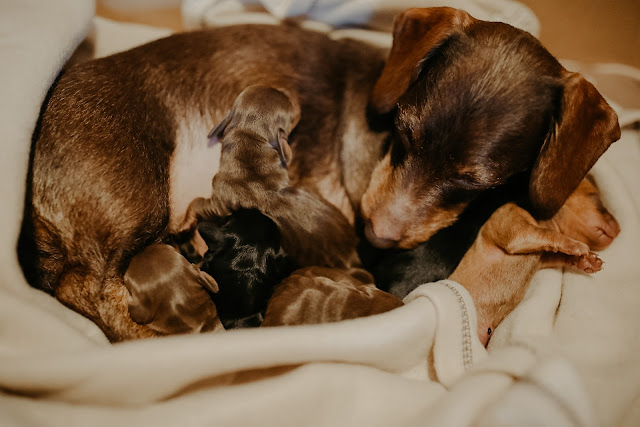 MINIATURE DACHSHUND BIRTH STORY // ( WARNING GRAPHIC PHOTOS )
