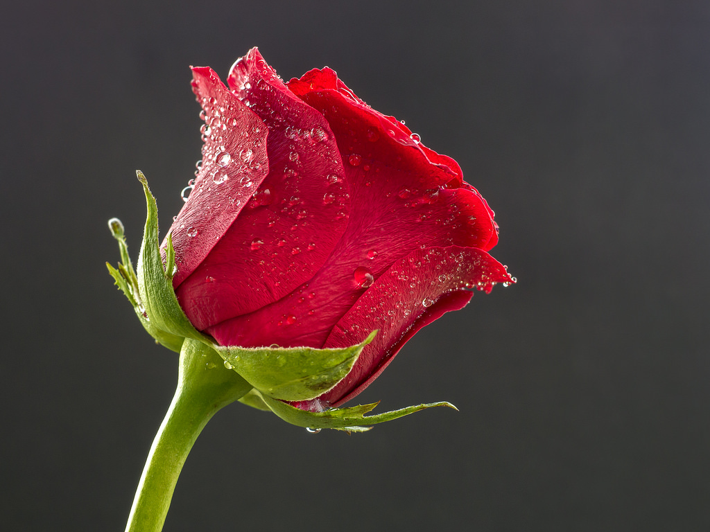 Beautiful rose hd wallpapers and images 123glitz - Beautiful rose wallpaper ...