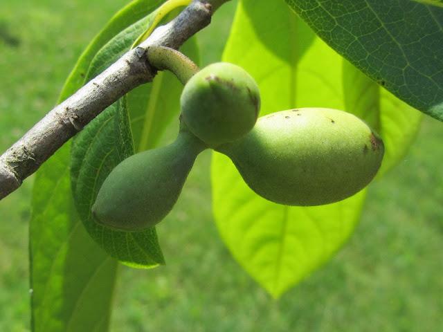 Frutti Asimina Maggio