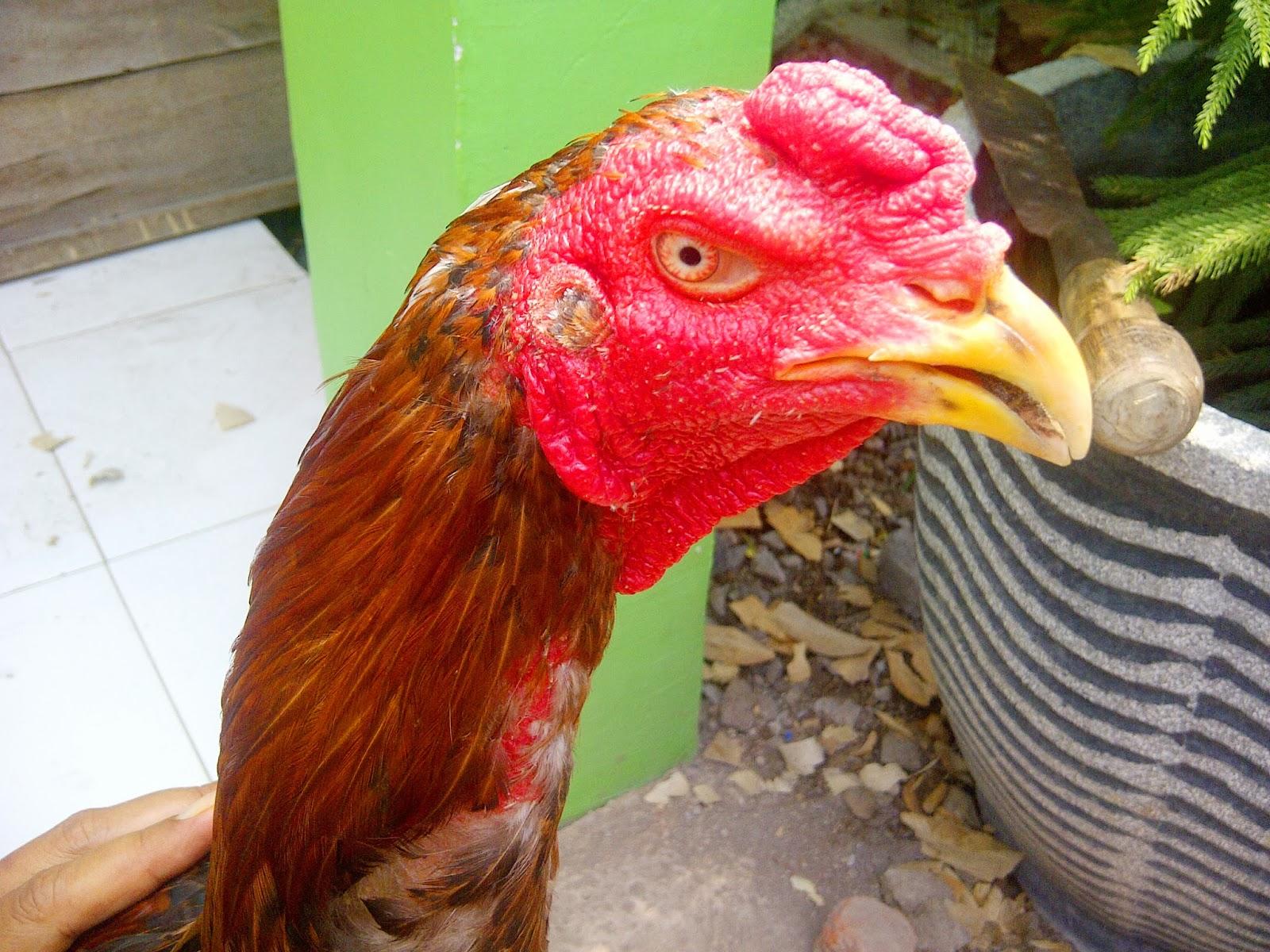 Sapu Jagat King Farm Ayam Bk Asli Import Langsung Thailand 2013