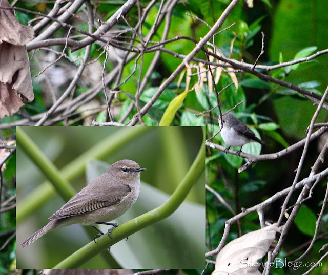 Common Chiffchaff - birding activity kkb