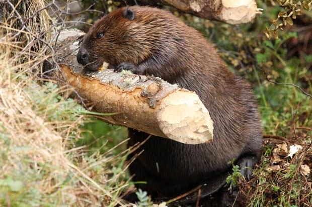 castoor mordiendo un tronco